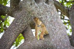 Śliczne młode lwa lisiątka sztuki w drzewie Obraz Stock