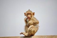 Śliczne małpy Obraz Stock