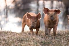 Śliczne mangalitsa świnie Obrazy Stock