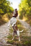 Ślicznego Beagle Psi Bawić się W naturze Zdjęcie Stock