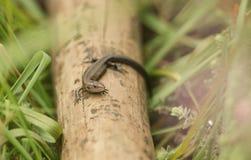 Ślicznego dziecka jaszczurki Lacerta Zootoca vivipara Pospolity nagrzanie na kiju w długiej trawie zdjęcia stock