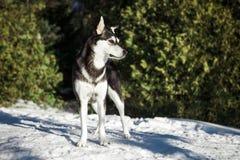 Ślicznego husky psi wycieczkować wokoło góry obrazy stock