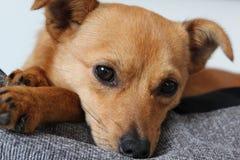 Ślicznego małego crossbreed jackaranian psi dosypianie Zdjęcia Royalty Free