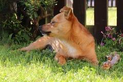 Ślicznego małego crossbreed jackaranian psi dosypianie Obraz Royalty Free