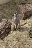 Ślicznego meercat siedzący puszek Zdjęcie Royalty Free