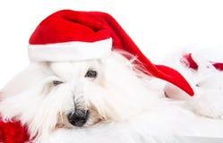 Ślicznego odosobnionego małego dziecka Santa psi jest ubranym czerwony kapelusz dla christma zdjęcie royalty free