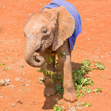 Ślicznego Osieroconego dziecka Afrykański słoń Pod koc Zdjęcia Stock
