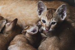 Ślicznego portreta młodzi koty je macierzystego mleko obrazy stock