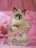 ślicznej figlarki plantatorski ładny ragdoll Zdjęcia Royalty Free
