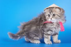 Ślicznej kiciuni fałdu Szkocki kot Obrazy Stock