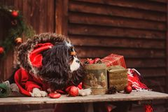 Śliczni śmieszni psi odświętność boże narodzenia, nowy rok z dekoracjami i prezentami i Chiński rok pies Fotografia Royalty Free