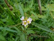 Śliczni biali kwiaty Świrzepa kwiat zdjęcia stock