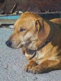 Śliczni domowego psa kłamstwa na mlejącym zakończeniu up obrazy royalty free