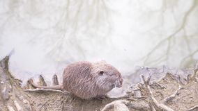 Śliczni dzicy puszyści coypus, rzeczny szczur, nutrie, jedzą chleb na brzeg rzekim 4k, zako?czenie, zwolnione tempo zbiory