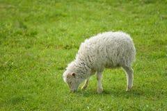 Śliczni dziecko cakle przy lata greenfield, baranek wypasa przy zieloną trawą obrazy stock