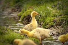 śliczni kaczątka Zdjęcie Royalty Free