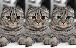 Śliczni kotów sen, Szkocki fałd Fotografia Royalty Free