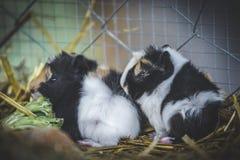 Śliczni króliki doświadczalni Fotografia Royalty Free