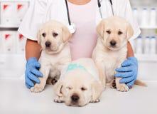 Śliczni labradorów szczeniaki przy weterynaryjną lekarką obrazy royalty free