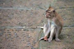 Śliczni małp życia w Ubud Małpują las, Bali, Indonezja zdjęcia stock