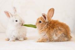 Śliczni Mali króliki jedzą trawy Obrazy Royalty Free