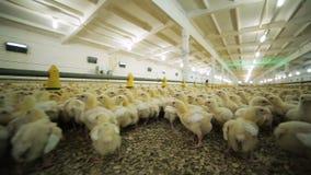 Śliczni mali kurczaki zbierali w inkubatorze na gospodarstwie rolnym zdjęcie wideo