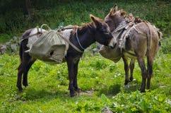 Śliczni osły Fotografia Royalty Free