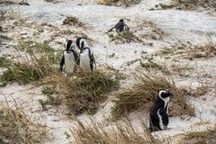 Śliczni pingwiny na głazach wpólnie wyrzucać na brzeg, Kapsztad Obraz Royalty Free