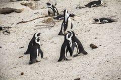 Śliczni pingwiny na głazach wpólnie wyrzucać na brzeg, Kapsztad Zdjęcie Stock