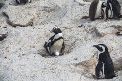 Śliczni pingwiny na głazach wpólnie wyrzucać na brzeg, Kapsztad Obraz Stock