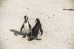 Śliczni pingwiny na głazach wpólnie wyrzucać na brzeg, Kapsztad Obrazy Stock