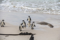 Śliczni pingwiny na głazach wpólnie wyrzucać na brzeg, Kapsztad Zdjęcia Stock