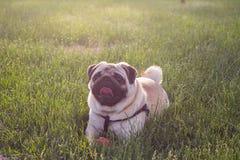 Śliczni Psi kwacze bawić się outside uśmiechy z czerwoną piłką Psi przyglądający przy kamerą i up Zdjęcia Stock