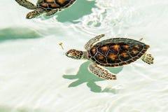 Śliczni zagrażający dziecko żółwie Obraz Royalty Free