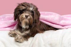 Śliczny łgarski czekoladowy Havanese pies w łóżku Obrazy Stock