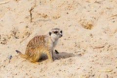 Śliczny śmieszny meerkat w piasku Obrazy Royalty Free