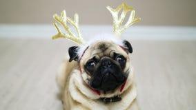 Śliczny śmieszny mopsa pies w nowego roku kostiumu, siedzi na podłodze z jelenimi poroże zbiory wideo