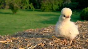 Śliczny żółty kurczątko, dziecka Polska kurczak, siedzi na siano beli outside w złotym lata świetle słonecznym zbiory wideo