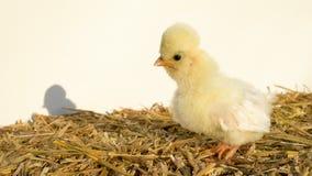 Śliczny żółty kurczątko, dziecka Polska kurczak, stoi na białym tle z długim cieniem, outside w złotym lata świetle słonecznym zbiory wideo