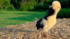 Śliczny żółty kurczątko, dziecka Polska kurczak, stoi na siano beli, outside w złotym lata świetle słonecznym zbiory