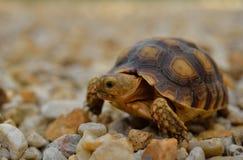 Śliczny żółwia kraul na żwirze zdjęcia stock