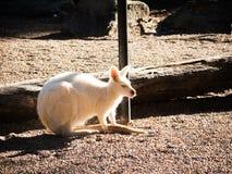 Śliczny albinosa wallaby samotnie w zoo zdjęcia royalty free