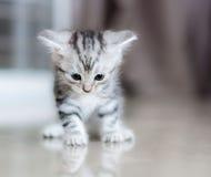 Śliczny amerykański shorthair kot Fotografia Royalty Free