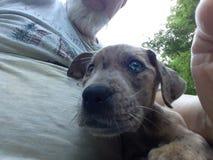 Śliczny błękit przyglądający się szczeniak z krzyżem w jej oku zdjęcie stock