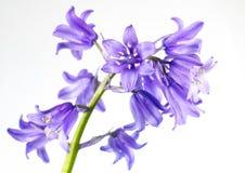 Śliczny Błękitny Dzwonu kwiat Odizolowywający na bielu Zdjęcia Royalty Free