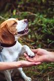 Śliczny Beagle pies Daje łapie zdjęcia royalty free