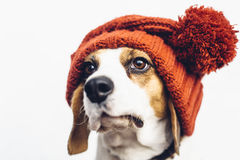 Śliczny beagle pies w ciepłym pomarańczowym kapeluszu Zdjęcia Royalty Free