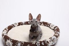 Śliczny bezwłosy sfinksa kot odizolowywający na bielu obraz royalty free