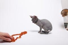 Śliczny bezwłosy sfinksa kot odizolowywający na bielu obrazy stock
