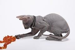 Śliczny bezwłosy sfinksa kot odizolowywający na bielu zdjęcie stock